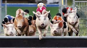 Pig Racing Video